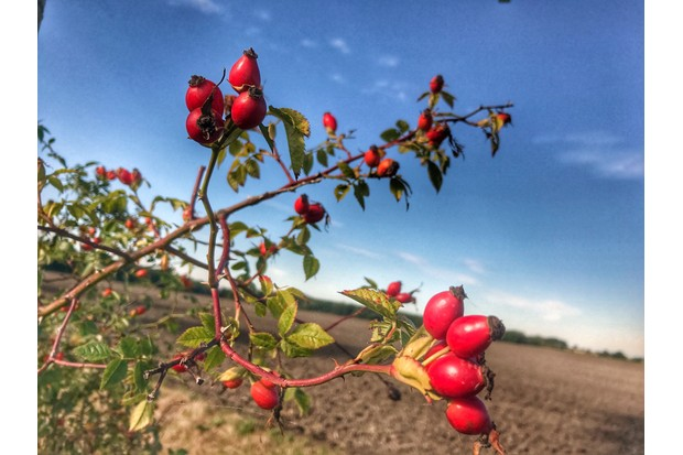 Photo Taken In United Kingdom, Grove rosehips