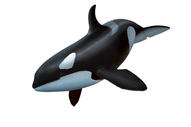 Female killer whale, artwork