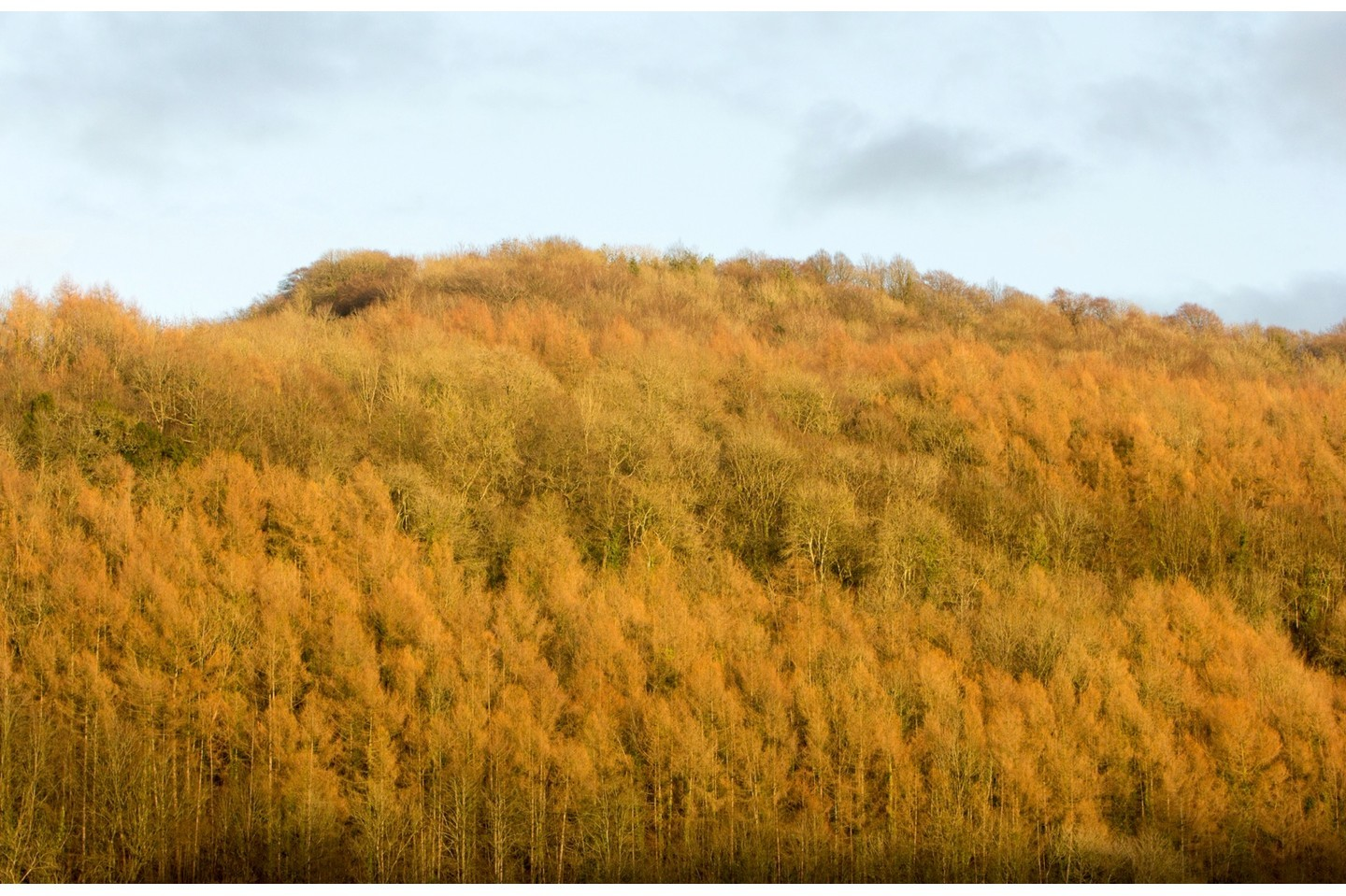 Larch trees in Wye Valley