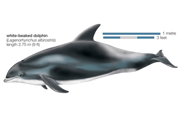 White-Beaked Dolphin (Lagenorhynchus Albirostris)