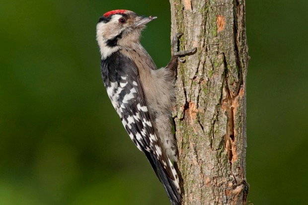 Lesser spotted woodpeckers can be seen in the hazel and oak woodland
