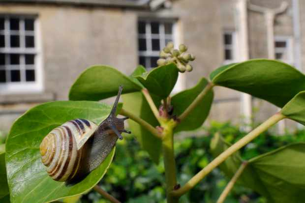 White-lipped snail (Cepaea hortensis) crawling over Ivy leaf (Hedera helix), Wiltshire garden with house in the background, UK, October.