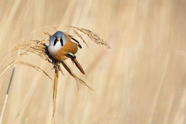 Bearded Tit Panurus biarmicus male feeding on phragmites seeds Cley Norfolk winter