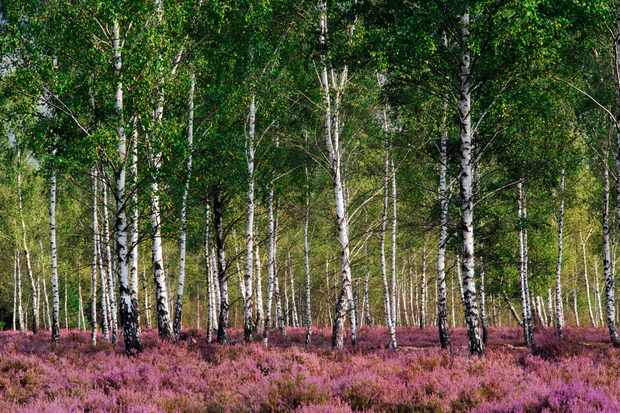 Silver birch (Betula pendula) trees with Heather (Calluna vulgaris) in full bloom, Reicherskreuzer Heide, Nature Reserve Schlaubetal, Germany, September.