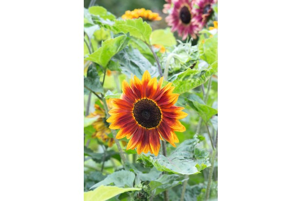 Helianthus annuus 'Harlequin mixed' - Surrey - July