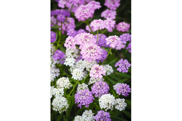 Iberis umbellata 'Crown Mixed' - Candytuft