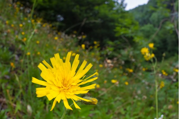 Leek-coloured Hawkweed (Hieracium subprasinifolium), one of only 62 plants known in the world. Peak District National Park, Derbyshire, UK. Endemic to the UK. June.