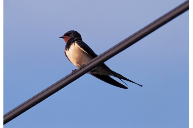 Birds: Swallow perched on overhead cable with blue sky in the background, hertfordshire.