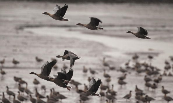 MONTROSE, SCOTLAND - OCTOBER 06:  Pink footed geese take off to feed from Montrose Basin on October 6, 2010 in Montrose, Scotland. Staff and volunteers at the Scottish Wildlife Trust have recorded more than 65,000 geese arriving to spend the winter in the reserve.  (Photo by Jeff J Mitchell/Getty Images)