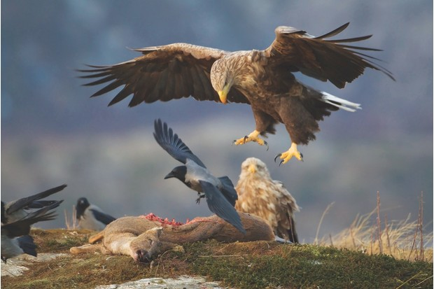 White-tailed eagle Haliaeetus albicilla, adult alighting onto carrion, Flatanger, Norway, February