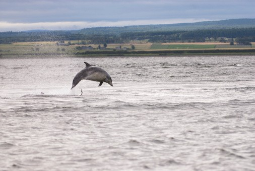 Dolphin hunting fish at Chanonry Point, Scotland