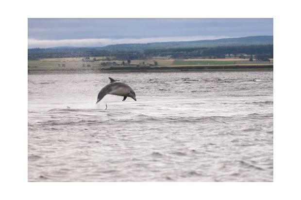 Dolphin hunting fish at Chanonry Point, Scotland