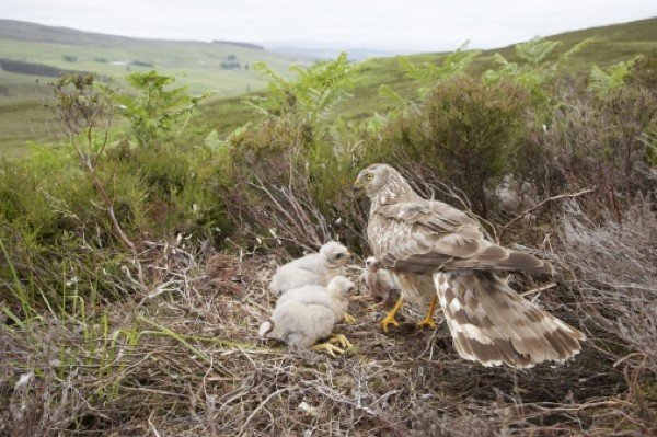 Hen harrier and chicks