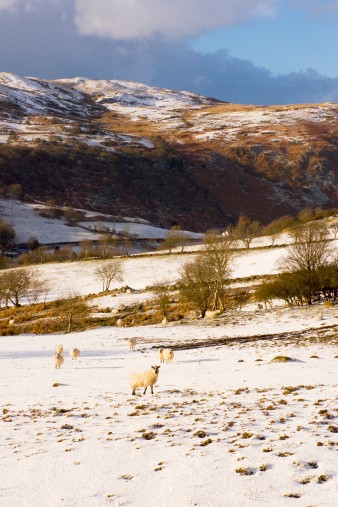 Welsh sheep in snow