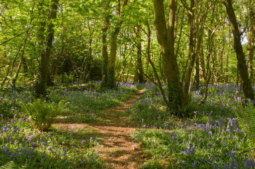 Bluebells along a path in the woods, Tehidy Park Cornwall.