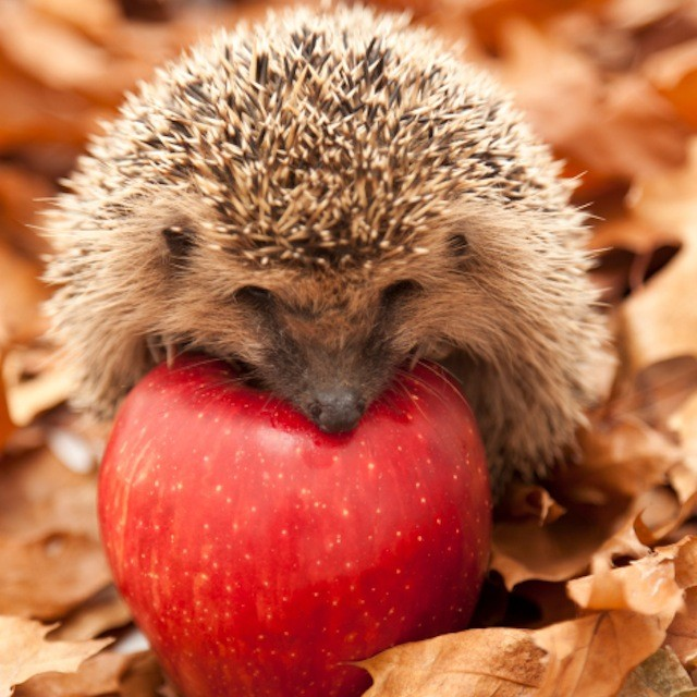 Little hedgehog