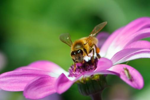 Sucking the nectar, honey bee on flower