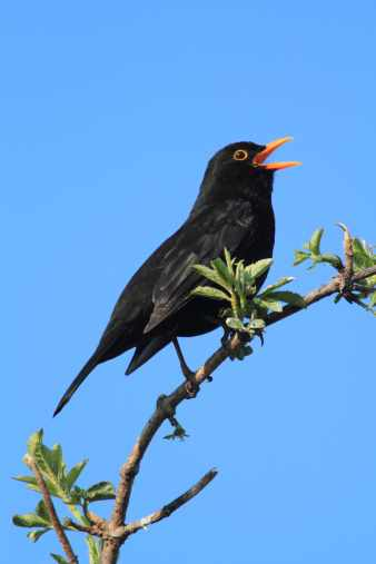 Male Blackbird singing in Tree.