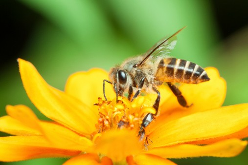 Macro of honey bee eating nectar