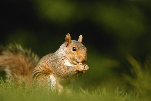 Squirrel, close-up, ground view