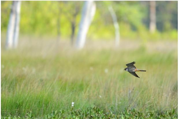 Eurasian Hobby, Falco subbuteo, hunting for dragonflies, Surrey, June; field