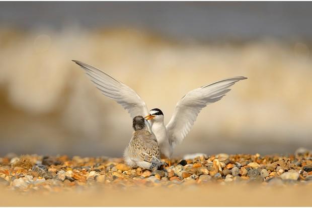 Little Tern Sterna albifrons, adult feeding well grown chick on shingle beach, Norfolk, August