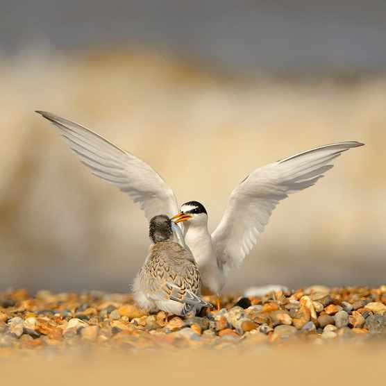 Little Tern Sterna albifrons, adult feeding well grown chick on shingle beach, Norfolk, August
