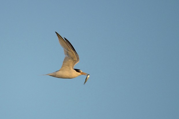 Little Tern Sterna albifrons, adult bird returning to nest with fish, Norfolk, August