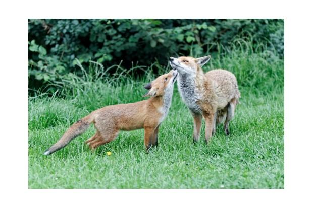 Red fox, Vulpes