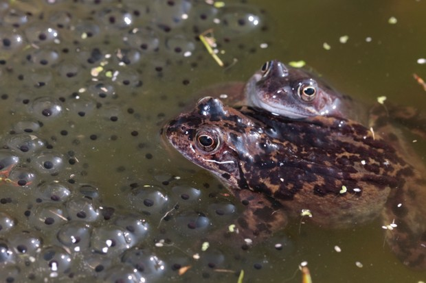 Common frogs in pond