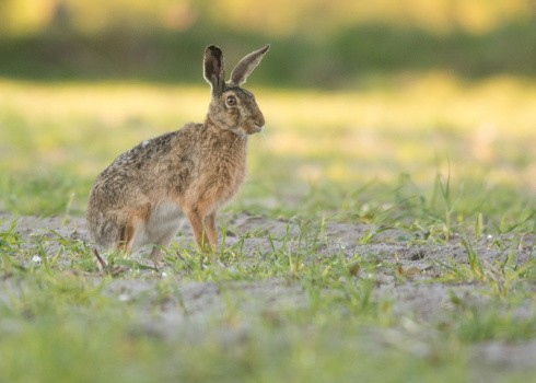 Brown hare ©Getty