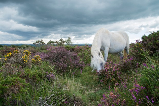 Wild horse grazing on heather moors in National Park