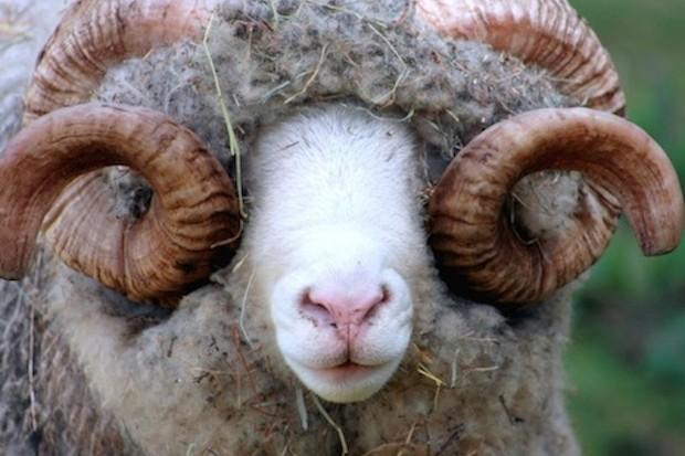 Close Up of a Dorset Ram