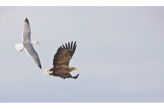 White-tailed Eagle (Haliaeetus albicilla) adult, in flight, being mobbed by Herring Gull (Larus argentatus), Scandinavia