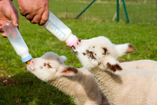 Two baby lambs who lost their mother being hand fed by a farmer in France