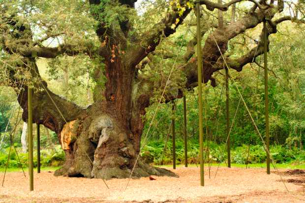 The Major Oak tree in Sherwood Forest