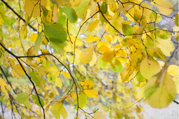 Autumn alder leaves nature background