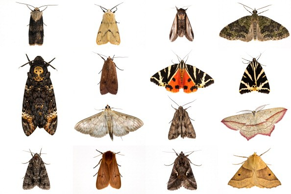 UNITED KINGDOM - 2013:  A composite image of moths trapped during several recording nights in 2013 including the rare Deaths Head Hawkmoth. This weekend saw the annual Moth Night where moth recorders, lepidopterists and moth enthusiasts across the country ventured out and take part in the annual moth night survey. The annual census is organised by Butterfly Conservation and Atropos, and hoped to raise awareness of moths and their importance in the food chain. The findings of the survey help provide a picture of populations across the country, and how they are affected by climate change. It is thought that climate change in the form of warmer, wetter winters reduced the survival of some of Britains most charismatic moths. Around 2,500 species of moth are found in the British Isles compared to approximately 70 butterflies.  Moths are split into two groups, macro, and the smaller micro moth, with different species across a range of habitat able to be found flying throughout the year. Moths play a major role in the food chain providing food for predators such as bats, and playing their part as major pollinators much like butterflies and bees. Though most fly at night, there are also several day flying moths such as tiger moths.  (Photo by Dan Kitwood/Getty Images)