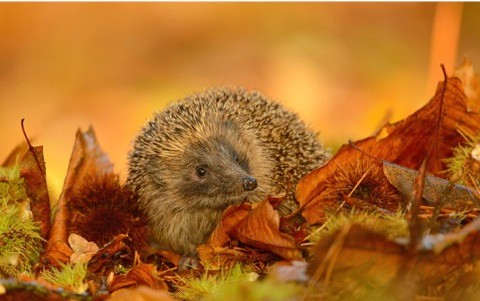 Autumn_hedgehog_r-6a642f1