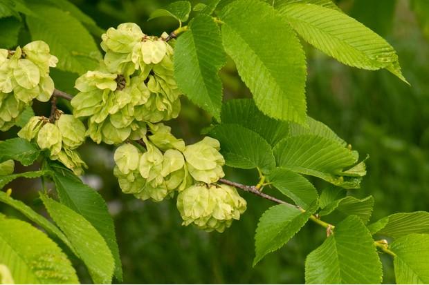 BNRW05 Wych Elm (Ulmus glabra). Twig in early summer with seeds.