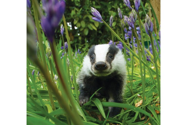 Badger-In-Bluebells-A-Hinchliffe-SHP-26-N-09d1d9e