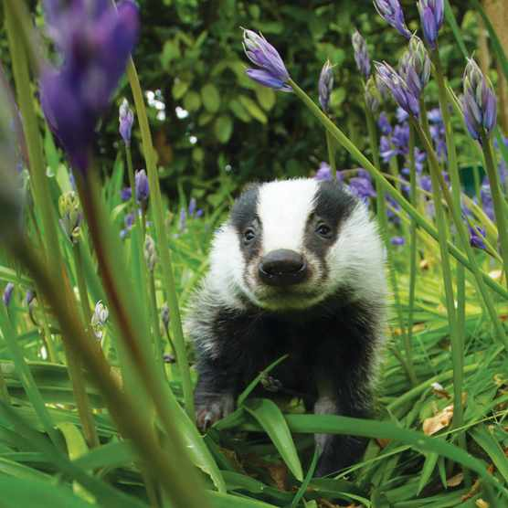 Badger-In-Bluebells-A-Hinchliffe-SHP-N-08915a6