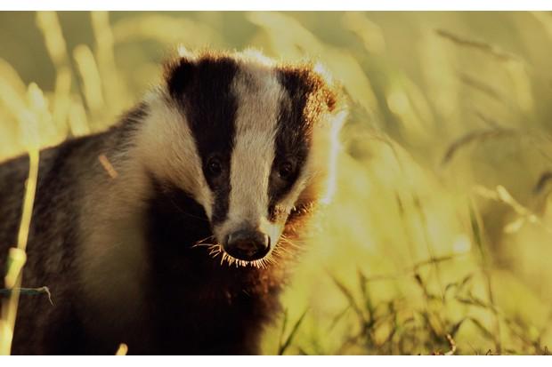 Badger-spotting-200484690-001-80e28b9