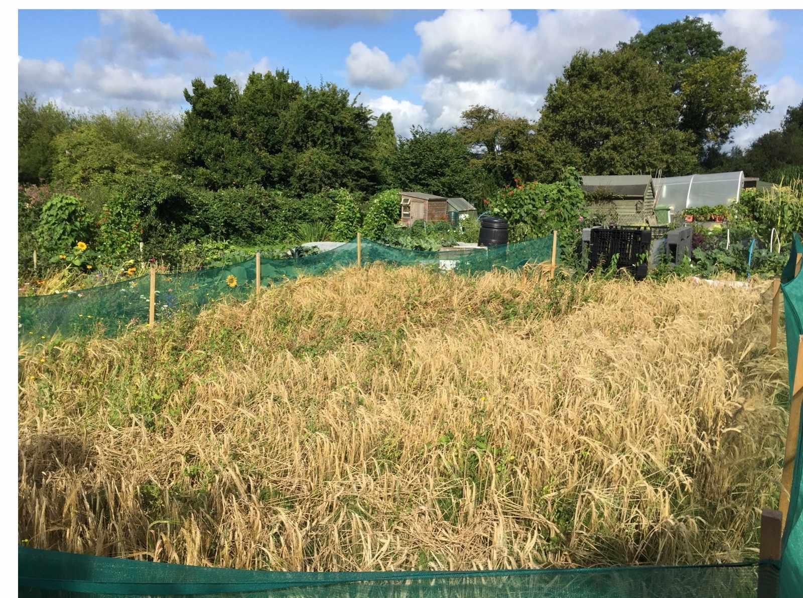 Barley-11-3d6f804