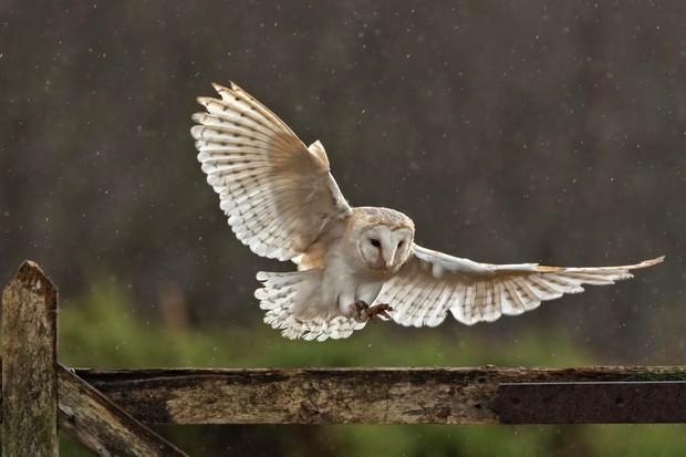 Barn-Owl-fd4e177