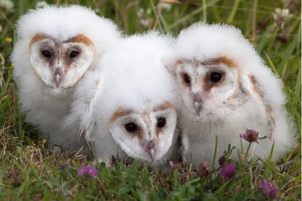 Barn owl young