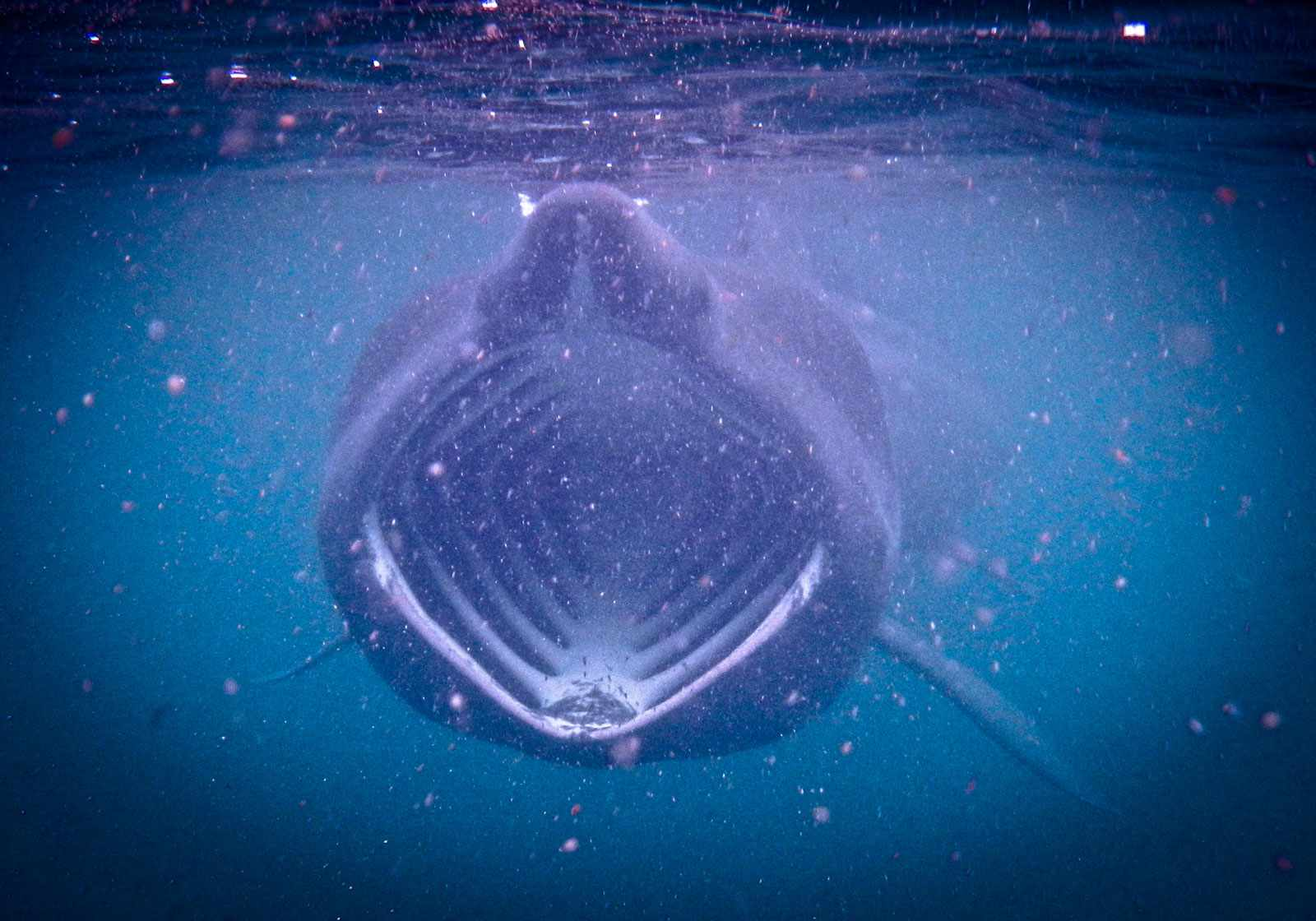 Basking-shark-6ff36c6