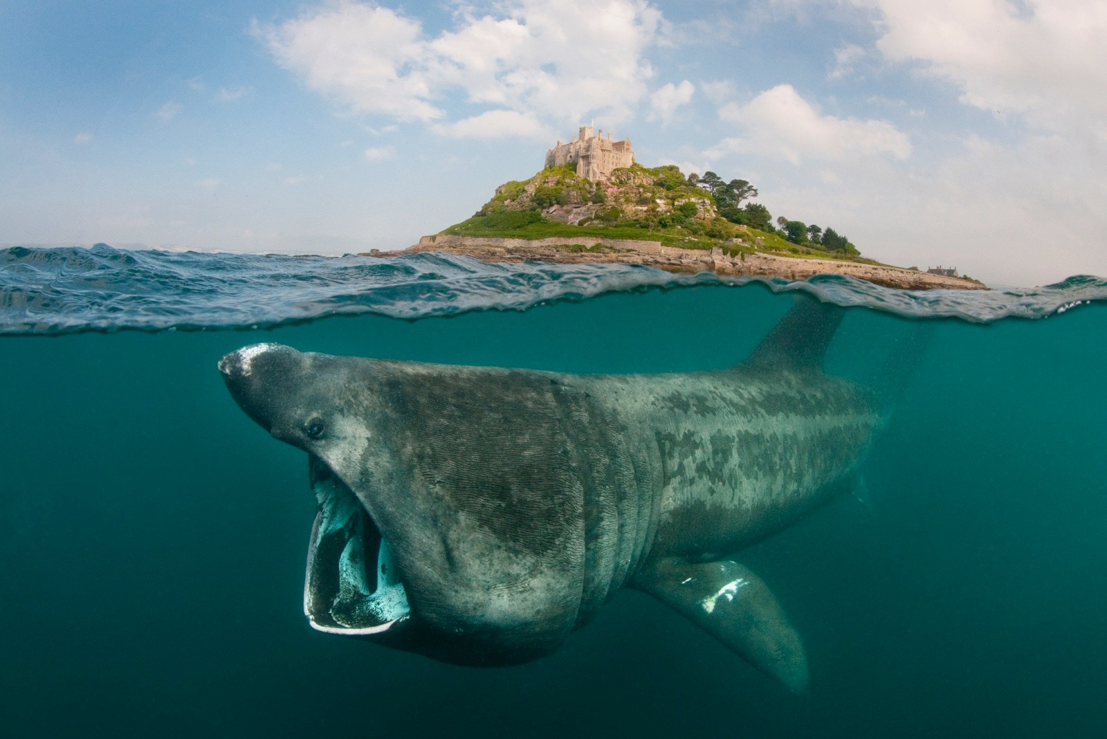 A digital composite showing a basking shark (Ceterhinus maximus) feeding on plankton around St Michael's Mount, Cornwall, UK.  Both halves of this image were taken on the same day, in the same area, with the same camera.