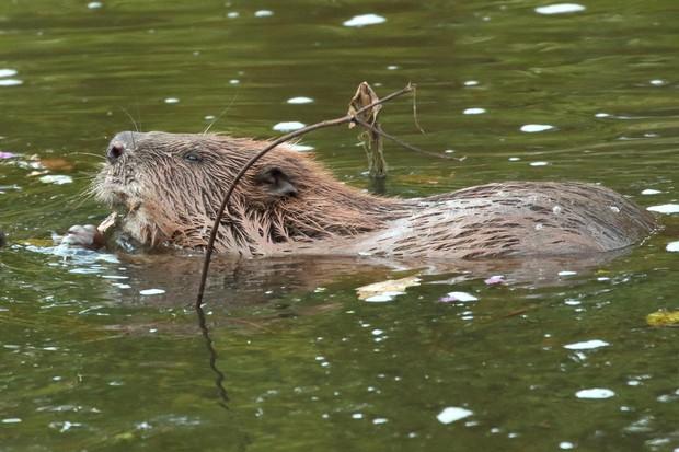 Beaver-female-5-c0b435c