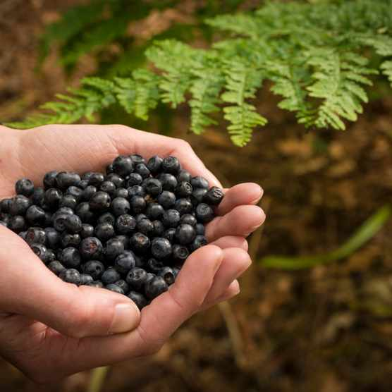 Person with cupped hands holding bilberries.